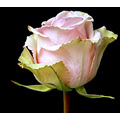 pink flower rose stem green
