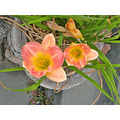 daylily daylilies oakland lily lilies gardenfph