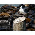 usa sanfrancisco animal bird gull sealion usax sanfx animx sealx birdx gullx