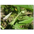mantis fly insect nature
