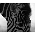 Zebra stripes lines black white yorkshire wildlife park zoo