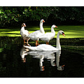 swan geese pond photo