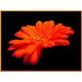 gerbera drop orange balis barbara
