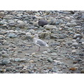 seagull on the river bed