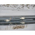 Swan Lake Cerknica winter