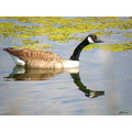 Bird canada goose reflection water