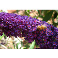 Don't you just love those dark-coloured buddleia?