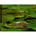 waterlily leaf water judyss