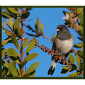 birds nature darkeyedjunco