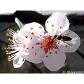 flower tree plum wasp