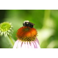 BUBBLEBEE ON CONE FLOWER