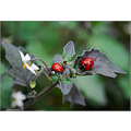 nature autumn red bugs insects ladybug green