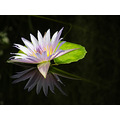 waterlily pond flower judyss reflection