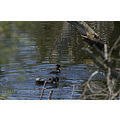 bird musk duck courtship display perth hills littleollie
