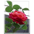 rose flower bloom nature