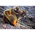 mother baby squirrel monkey grip zoo