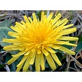 flower yellow dandelion