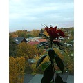 autumn flower aeschynanthus