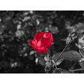 flower rose red black and white