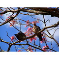 pigeon ipe pink flower tree autumn