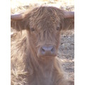 highland calf cattle cow farm