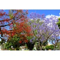 Jacarandas and Flame trees beautiful colour all around