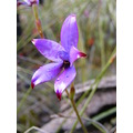 purple enamel orchid flower plant