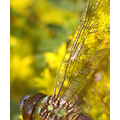 dragonfly drops green yellow nature macro
