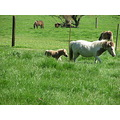 cute pony miniature