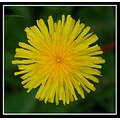 dandelion flower yellow nature macro somersetdreams favesongs