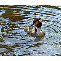 Grebe Bird Water