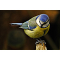 birds blue tit wildlife