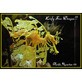 leafy sea dragon aquarium