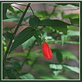 red flower not opened