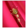 insect aphid twins bugs