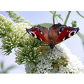 Butterfly, captured in Italy