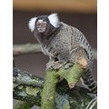 Marmoset Yorkshire Wildlife Park UK
