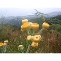 Madeira island Portugal nature wild flowers 2006 yellow smelly