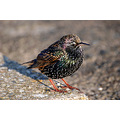 starling sunshine