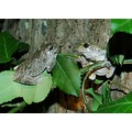 frog green tree leaf amphibian nature common grey tree frog friends
