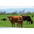 cow calf texas longhorn cattle animals domesticated ranch farm wyoming usa