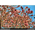stlouis missouri usa spring tree blossom pink light perspective 033111