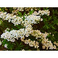 Spirea Blooming White Flowers Skane Sweden 2012 May Hedge