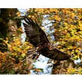 eagle flight birdofprey bird falconry wings wildlife