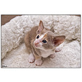 oriental cat cats pet pets siamese siam cattery
