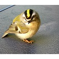 GOLDEN crowned kinglet bird dashboard peterpinhole