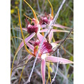 carousel spider orchids western australian native flowers plants nature