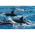 Mauritius ocean dolphins indian mayzi sea fishing big game marlin
