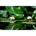nature flower water lily pleven bulgaria