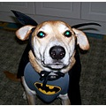 batdog superhero dog